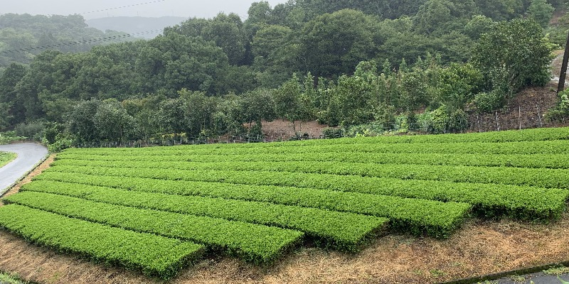 tea-field-curve-800-400
